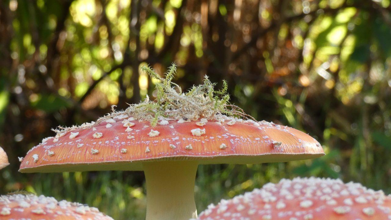 https://www.shroomsdeliverycanada.com/wp-content/uploads/2020/07/mushroom-5046837_1920-1280x720.jpg